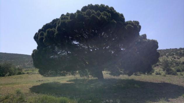 Kalenin tam karşısındaki çam ağacının yaşını tahmin edebilir misiniz?