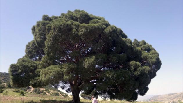 Bir çam ağacı için hayli yaşlı....