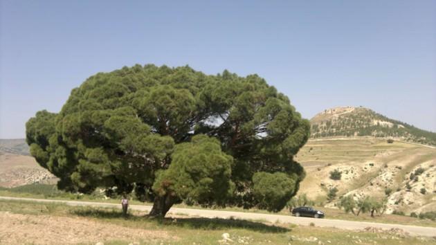Bu anıt ağaç 700 yıllık...