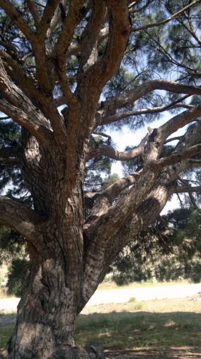 700 yaşında bir ağaç için oldukça sağlıklı. Hele de bir çam ağacı olduğunu göz önüne alırsak maşallah deyip nazardan korunması için dua etmekte yarar var.