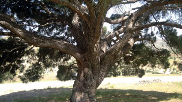 Nerdeyse Osmanlı Devleti ile yaşıt olma şansını kıl payı kaçırmış bu çam ağacının görkeminden etkilenmemek mümkün değil.