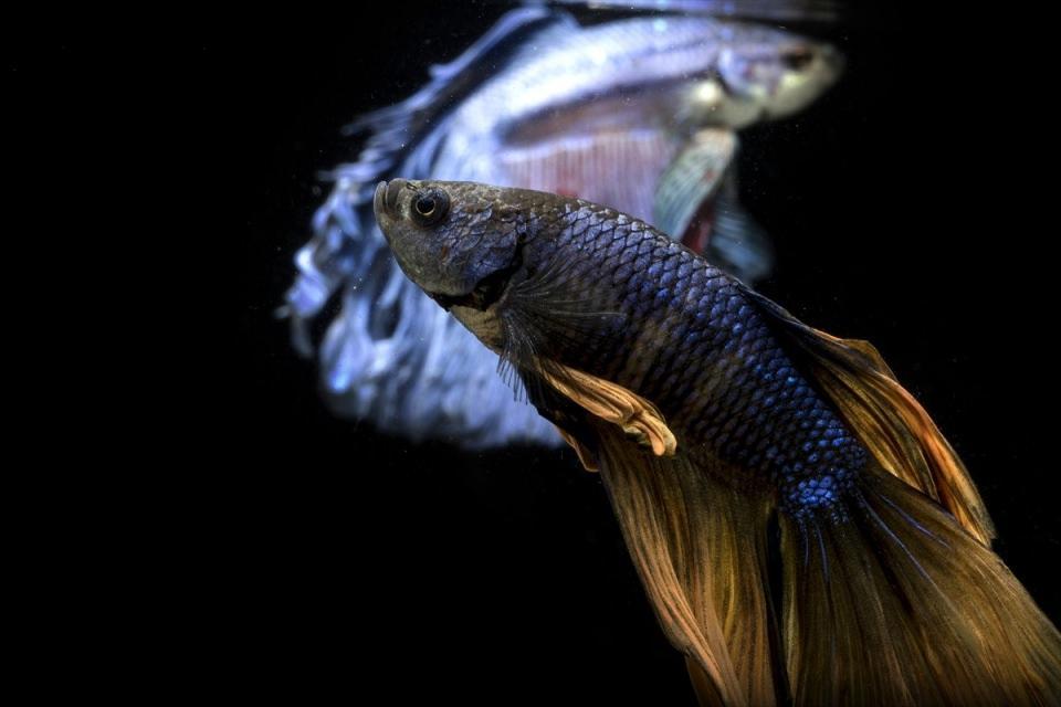 Güzellikleri sınır tanımayan Betta balıkları