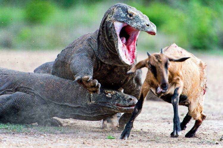 Yaşayan ejderha 'Komodo Ejderi'