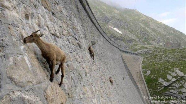 İnanılmaz görüntü! İtalya'da dağ keçileri...