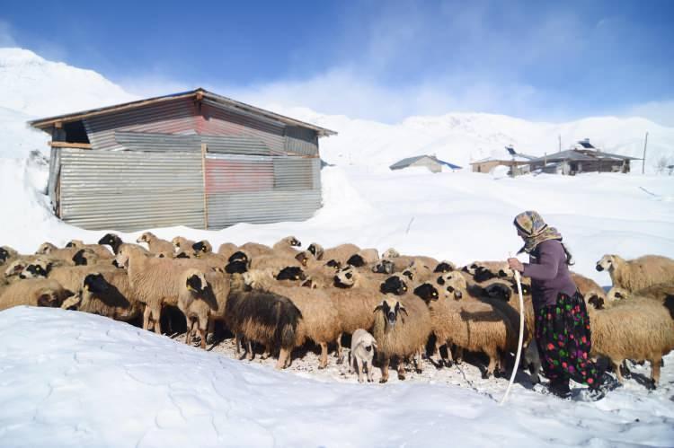 <p>Karla kaplı ahırların çatılarında ve çevresinde biriken karları temizleyen besiciler, yaz aylarında istifledikleri otları, yorucu bir çalışmayla beyaz örtünün altından çıkarıp hayvanlarına yediriyor.</p>  <p></p>