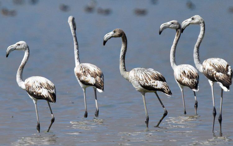 <p>Her yıl belirli dönemlerde Van Gölü Havzası'ndaki sulak alanlara gelen flamingolar, son yıllarda Bitlis'in Adilcevaz ilçesine bağlı Arin Gölü'nde de yoğun bir şekilde konaklıyor.</p>