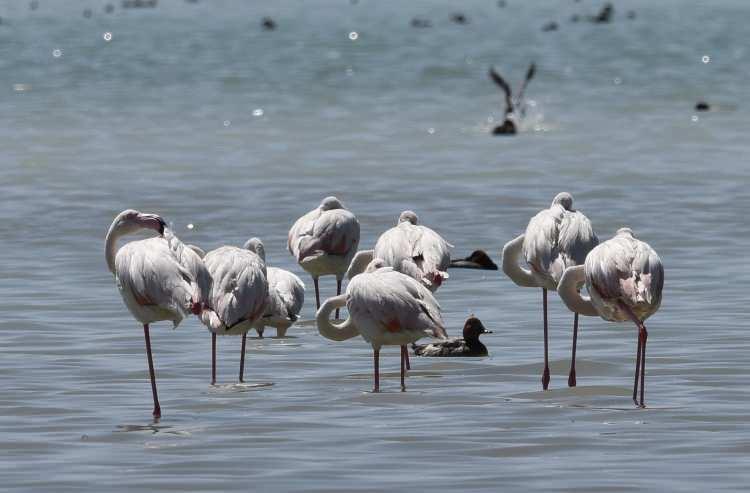<p>İran'dan göç ederek Van Gölü'ne gelen flamingolar, Van'ın Erçek Gölü'nde ve Bitlis'in Adilcevaz ilçesinde bulunan Arin Gölü'nde de yoğun bir şekilde görülüyor.</p>