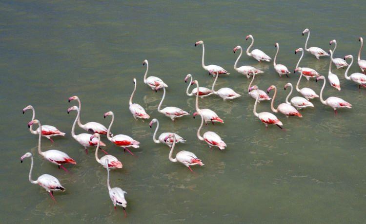 <p>Arin Gölü'nü çevreleyen köylerde yaşayan köylülerden Orhan Emen, flamingoların her yıl ağustos ayında Arin Gölü'ne geldiklerini ve havaların soğumasıyla birlikte sıcak yerlere göç ettiğin belirtti.</p>