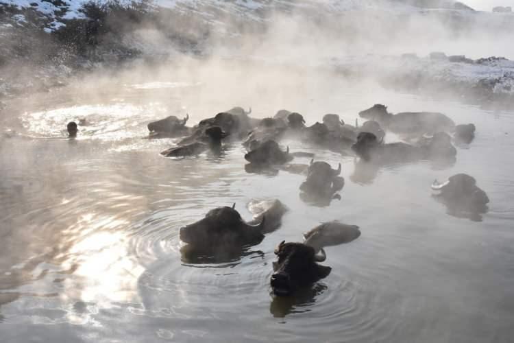<p>Temizlenmek için mandaları kaplıca suyuna götüren hayvan sahipleri de suya girerek hayvanlarla birlikte yıkanıyor. Yaz aylarında çamur ve suya ihtiyaç duyan mandalar, kış aylarında da kaplıcaya ihtiyaç duyuyorlar. Bölgede birçok noktada çıkan sıcak suyu hem mandalar kullanıyor hem de insanlar şifa bulmak için kullanıyor.</p>