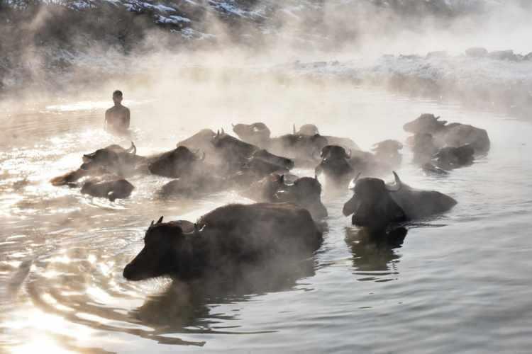 <p>Bitlis'in Güroymak ilçesine 7 kilometre uzaklıktaki Budaklı köyündeki mandalar, eksi 20 derecelik havada kaplıcanın sıcak suyunda keyif sürüyor.Kış mevsiminin çetin geçtiği köyde ahırlardan çıkamadığı için kirlenen hayvanlar, sahipleri tarafından temizlenmek için 10 günde bir kaplıcaya götürülüyor.</p>