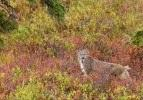 Nadir rastlanıyor! Vahşi kedi avlanırken görüntülendi