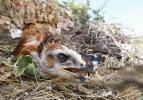 Kızıl şahin yavrularının yuvadaki 40 günü