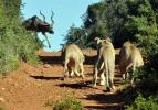 Antilop'tan inanılmaz taktik!