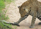 İki leopar 2 metrelik pitonla karşılaşınca...