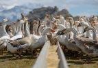 İthal yumurtalarla kaz yetiştirip ihraç ediyorlar