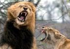 Aslanların nefes kesen kavgası!