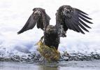 Kel kartalın somon avı kare kare görüntülendi