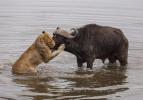 Bufalonun hayrete düşüren mücadelesi