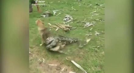 Yılan köpeğe saldırınca...