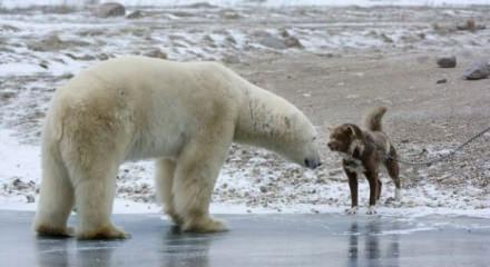 Koca ayıya böyle meydan okudu!