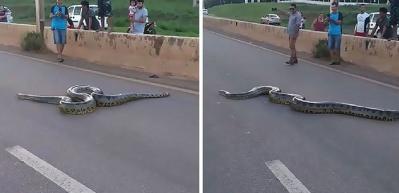 3 metrelik dev anakonda yılanı için seferber oldular!