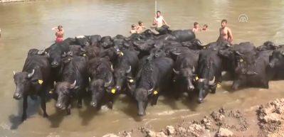 6 çiftçiye damızlık manda dağıtıldı
