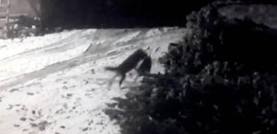 Aç kurtlar köye inip köpeğe saldırdılar