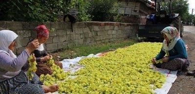 Amasya'nın çeyrek altını: Çiçek bamyası