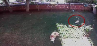 Anne kedi bahçeye giren köpek ile boğuştu