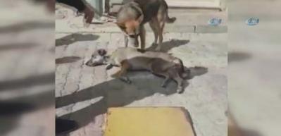 Anne köpeğin yavrusu için verdiği çaba kamerada
