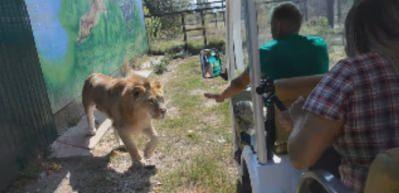 Aslan, safari turundaki turistlerin aracına işte böyle girdi