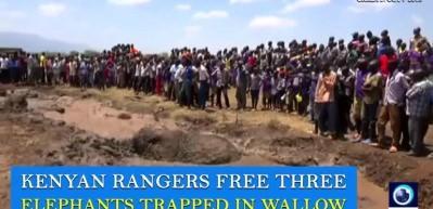 Bataklıktan çıkamayan fillerin yardımına insanlar koştu
