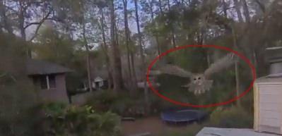Baykuş, drone'u avladı