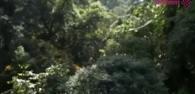 Bu ağaç tohumunu en uzağa göndermek için bakın ne yapıyor?
