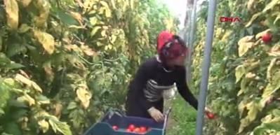 Bu köyde yılda 44 milyonluk domates üretiliyor