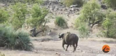 Bufalolar, fil yavrusunu aslanın ağzından böyle kurtardı!