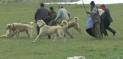 Çoban köpeklerinin ekmek kavgası! Öldüresiye...