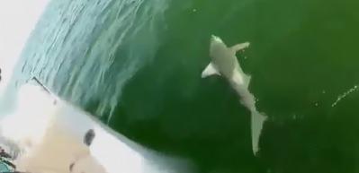 Dev balık köpekbalığını tek lokmada yuttu