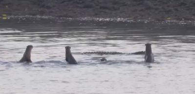 Dev timsahla dalga geçen su samuru ailesi