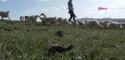 Doğu Ekspresi seferleri, kaz eti satışını artırdı