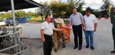 Erdoğan'a Trakya'dan kurbanlık gönderildi