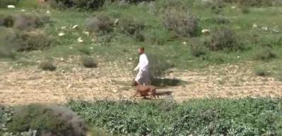 Filistinli çobanlar koyun otlatırken Pitbull'unu salan İsrailli!