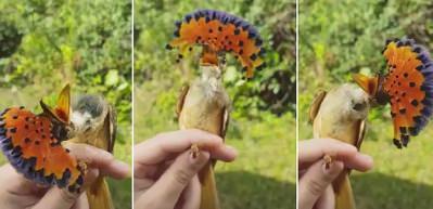 Görünce hipnoz olacağınız kuş! Kral sinekkapan kuşu