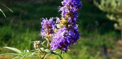 Hayıt bitkisinin faydaları nelerdir?