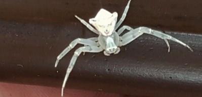 'İnsan yüzlü örümcek' görenleri hayrete düşürdü