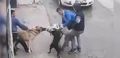 Kangala havlayan pitbull, hayatının hatasını yaptı!