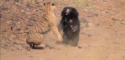 Kaplanla ayının kavgasını bakın kim kazandı
