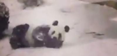 Karın gelmesi en çok pandaları mutlu etti