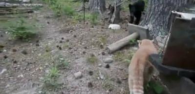 Kedi, yavru ayıyla karşılaşınca...