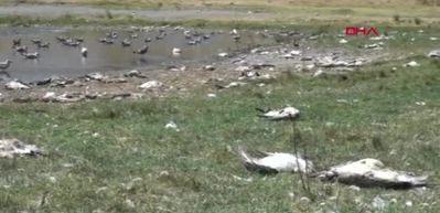 Kıyıdan temizlenmeyen martı ölüleri tedirgin etti
